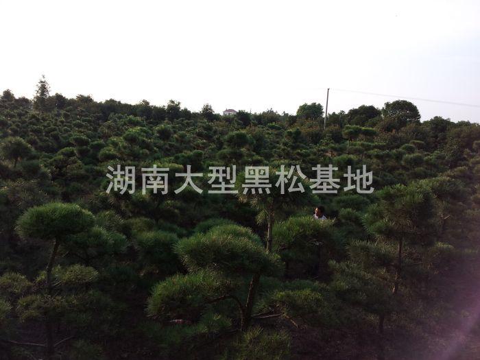 日本黑松基地展示****